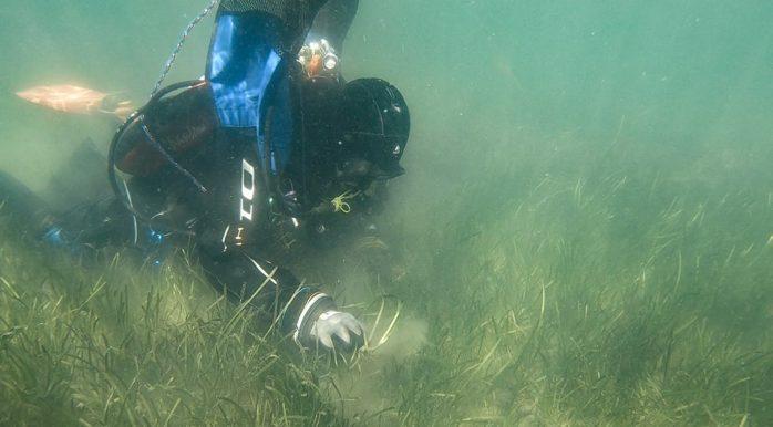 Ålgräsplantorna planteras för hand av dykare. Foto: Marine Monitoring/Göteborgs Hamn AB